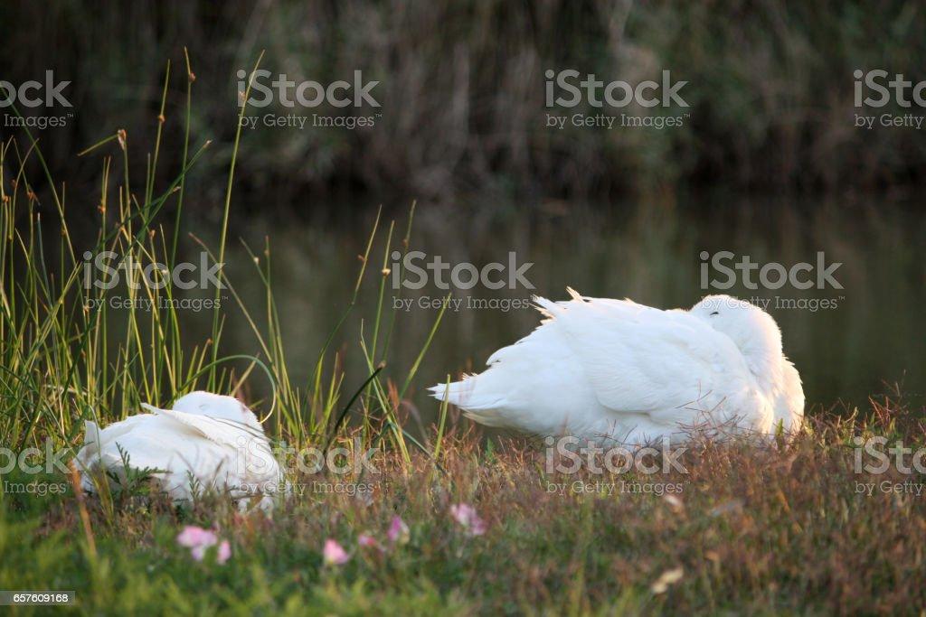 Sleeping Ducks next to lake or pond stock photo