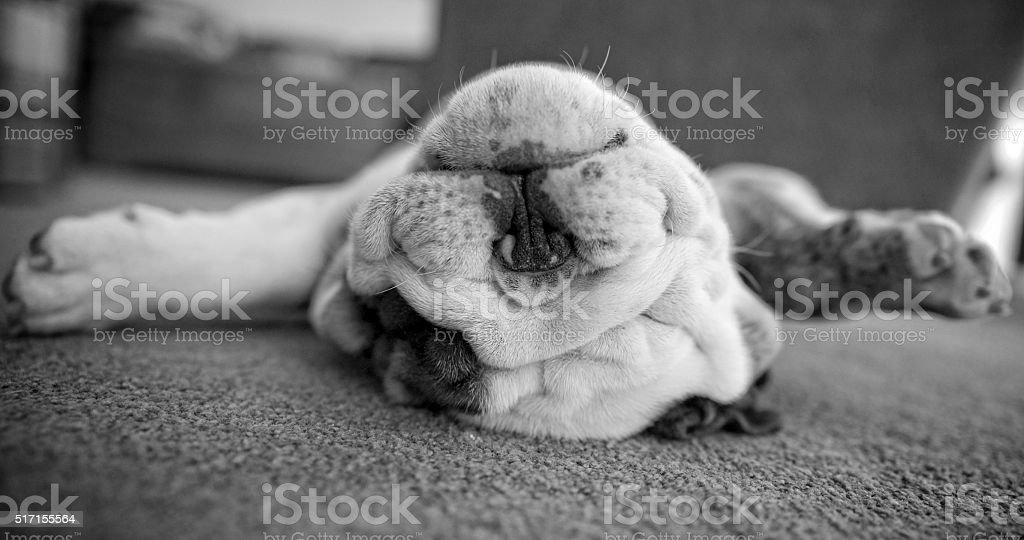 Sleeping English Bulldog Puppy stock photo