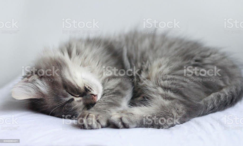 Sleeping fluffy kitten stock photo