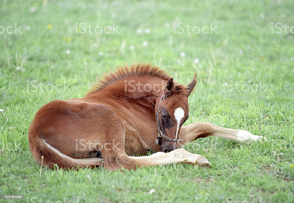Sleeping foal royalty-free stock photo