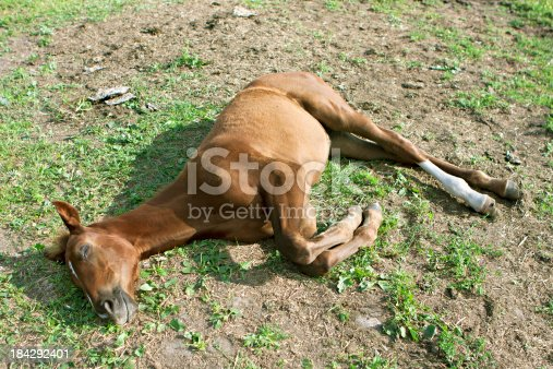 one week old foal lying on the ground