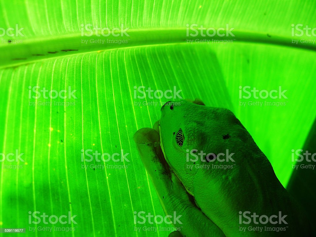 Sleeping frog -Agalychnis callidryas- in camouflage mode on leaf stock photo