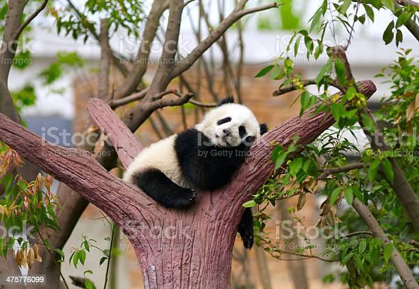 Sleeping giant panda baby picture id475776099?b=1&k=6&m=475776099&s=612x612&h=xkqithpxb2iov2t9f7iltndhlrbaqipmricph mrkum=