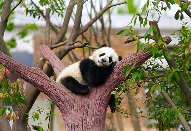 sleeping giant panda-babys - panda stock-fotos und bilder