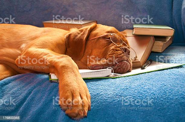 Sleeping golden brown dog with books and wearing glasses picture id176800345?b=1&k=6&m=176800345&s=612x612&h=gwozv2llrc37idp noizdbsoy7i13h9ilqzx t7rbko=