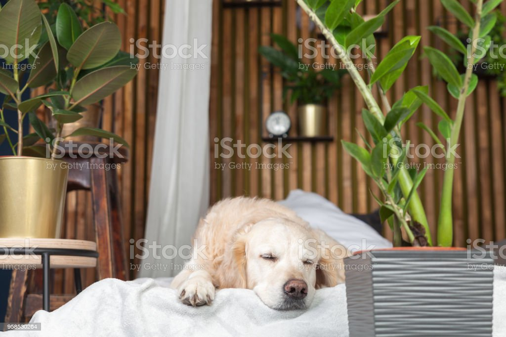 Sleeping Golden Retriever Pure Breed Puppy Dog On Coat And
