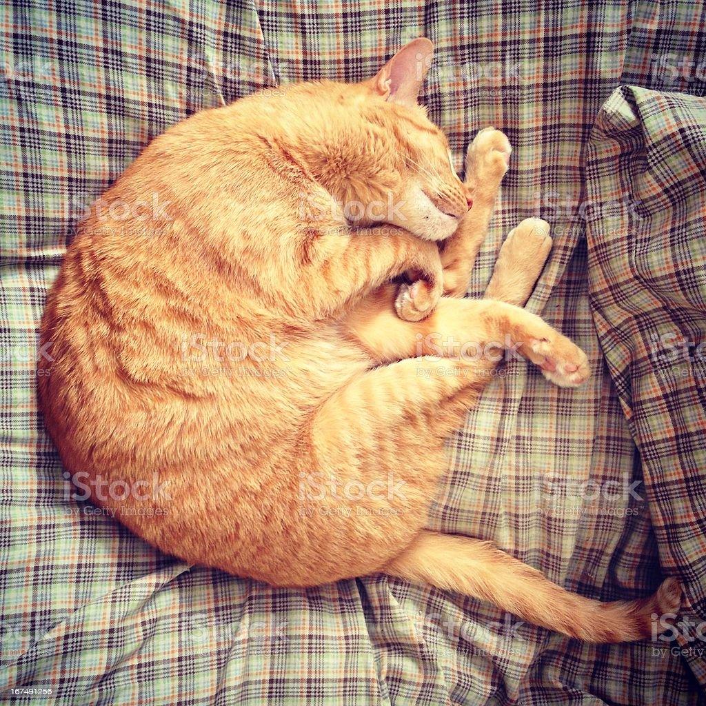 Sleeping Golden-Yellow Tabby Cat royalty-free stock photo