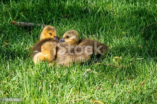 Sleeping goslings on the grass