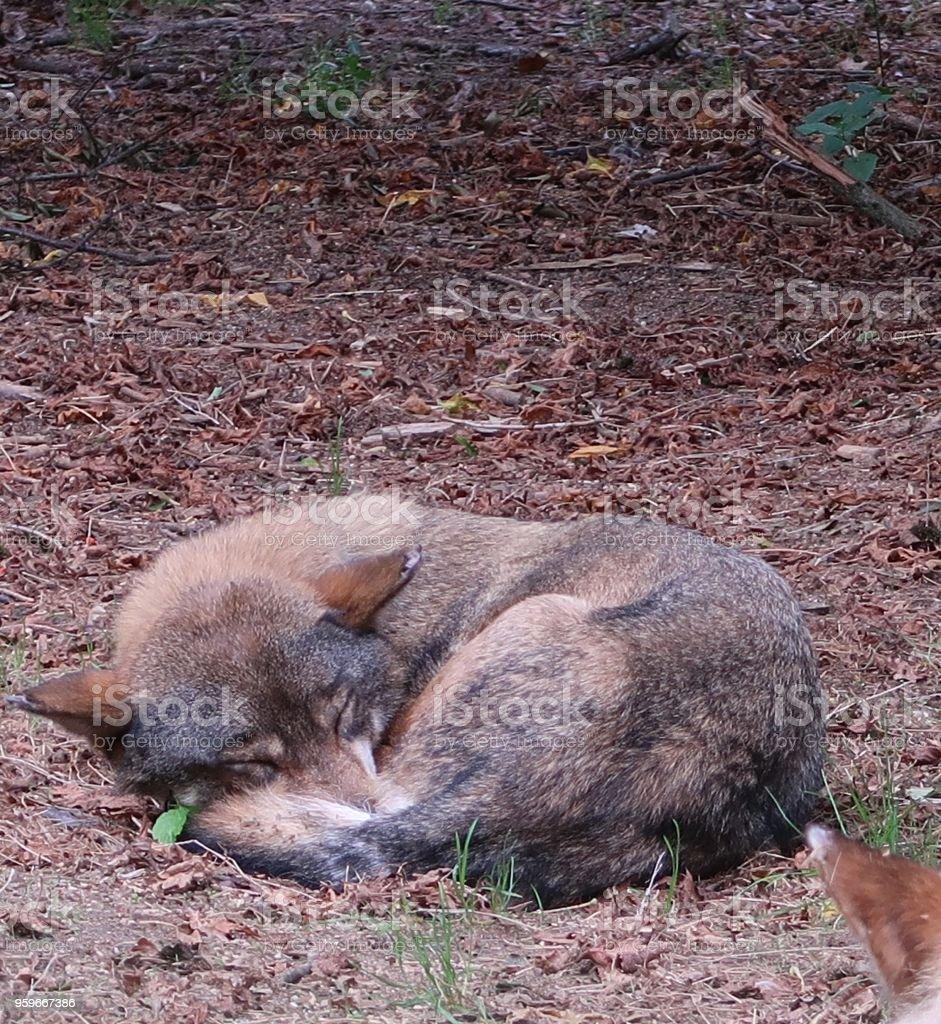 Dormir lobo gris (lupus de Canis, también conocido como el lobo, western lobo o lobo) - Foto de stock de 2017 libre de derechos