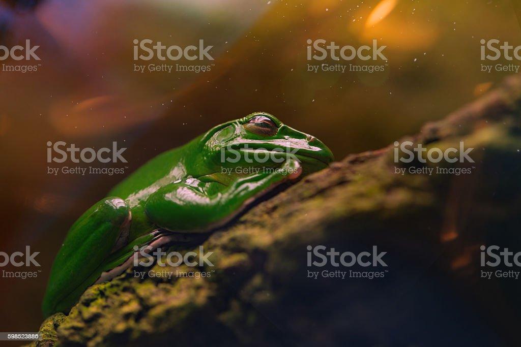 Sleeping green frog, The Australian green tree frog,close-up stock photo