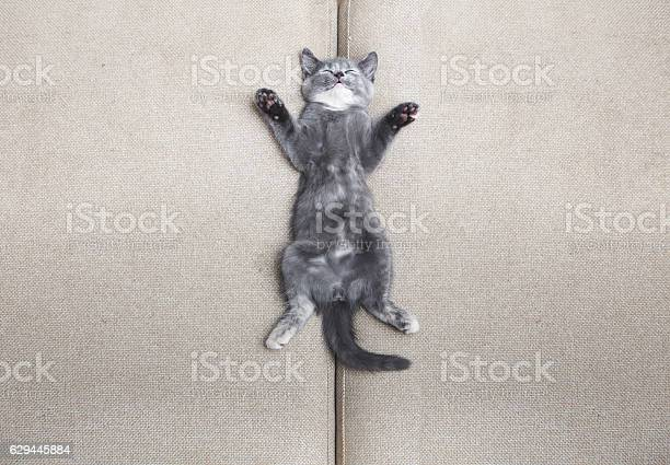 Sleeping grey kitten picture id629445884?b=1&k=6&m=629445884&s=612x612&h=ukeky8285igqfgfepmfdkrdlh2 4xiryab78hodzhii=