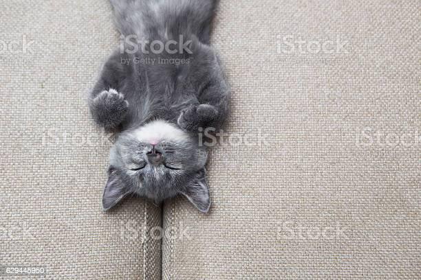 Sleeping grey kitten picture id629445950?b=1&k=6&m=629445950&s=612x612&h= rstwdsgehk7varhjtfxvzceljhqwtrwrfmq mo9dvk=
