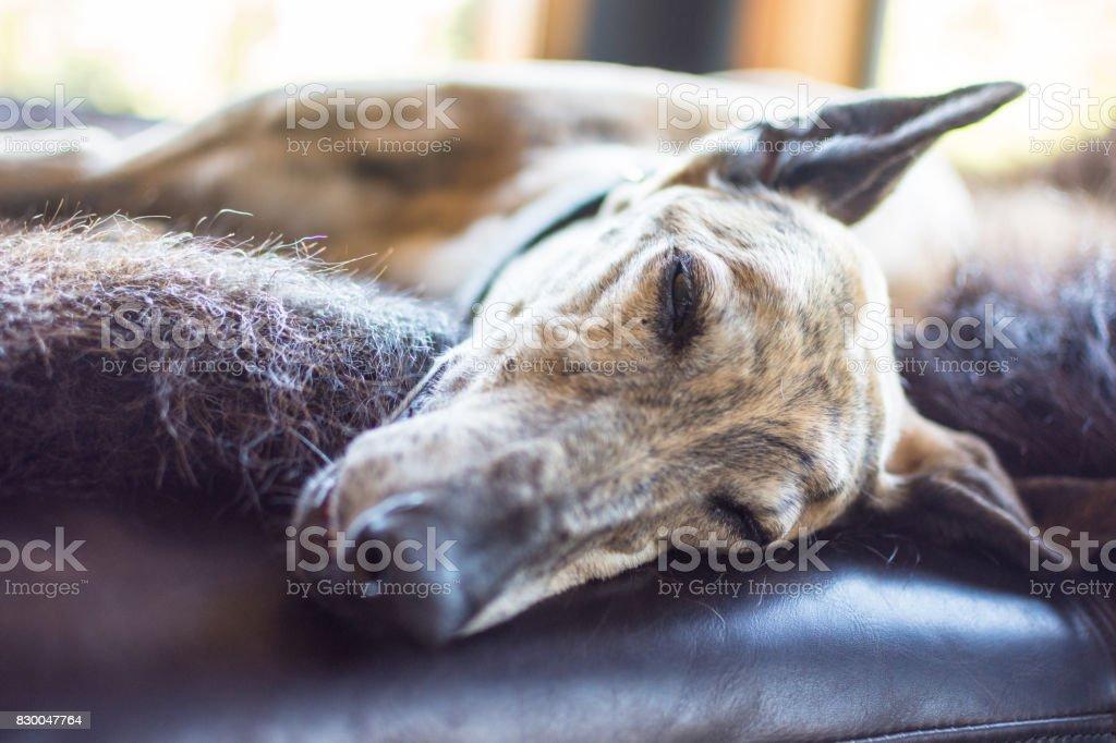 Sleeping greyhound dog lying down on animal skin stock photo