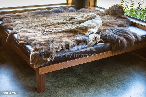 A tired old greyhound takes a nap on a beautiful animal skin. He's warming himself up near large windows in the home.