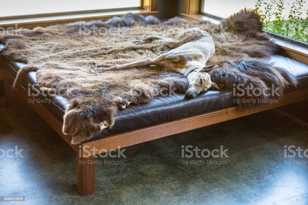 Sleeping greyhound dog lying down on animal skin stock photo