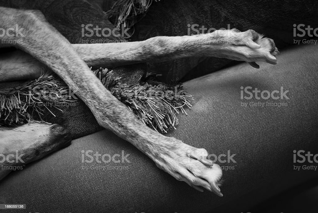 Sleeping greyhound legs stock photo