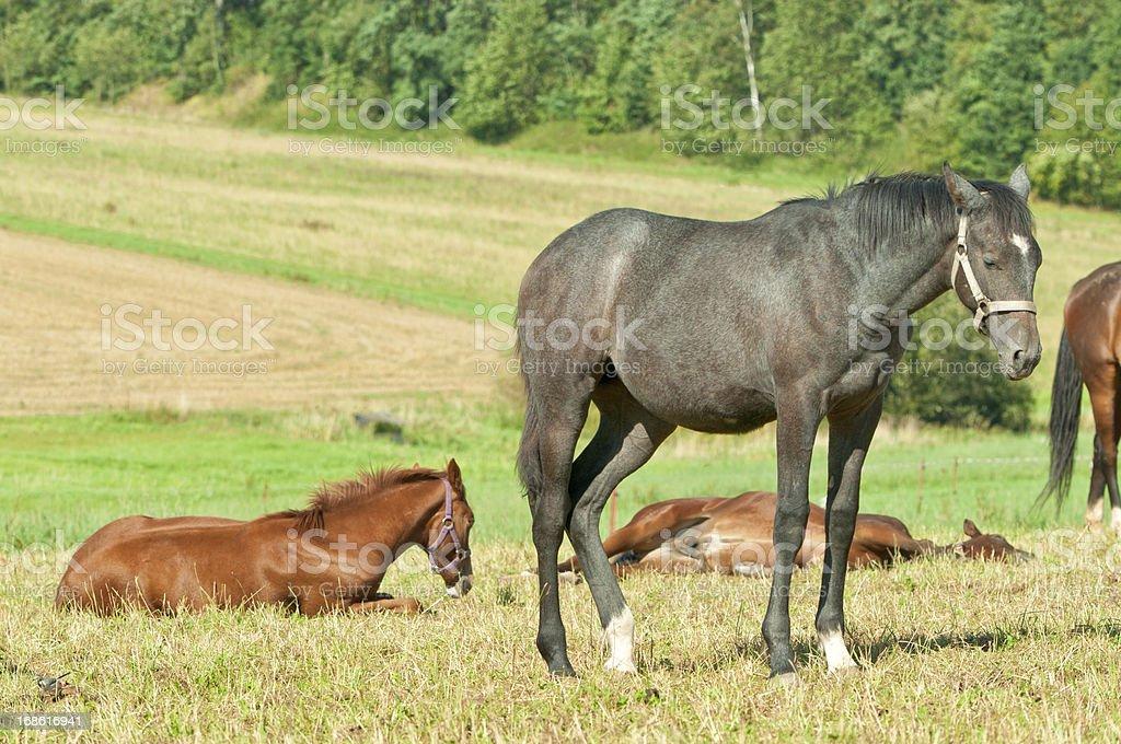 sleeping Haflinger horses on pasture royalty-free stock photo