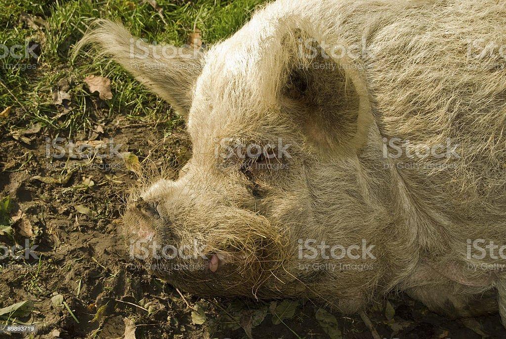 Спящая Волосатый свинья Стоковые фото Стоковая фотография