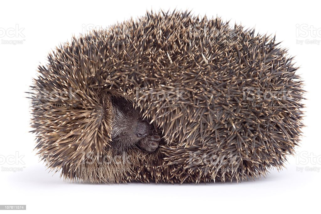 Sleeping hedgehog royalty-free stock photo