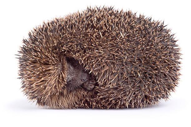 Sleeping hedgehog picture id157611574?b=1&k=6&m=157611574&s=612x612&w=0&h=bqd7lnjcqzckbkull8zxrejqitgpke6j7irnvu sk1a=