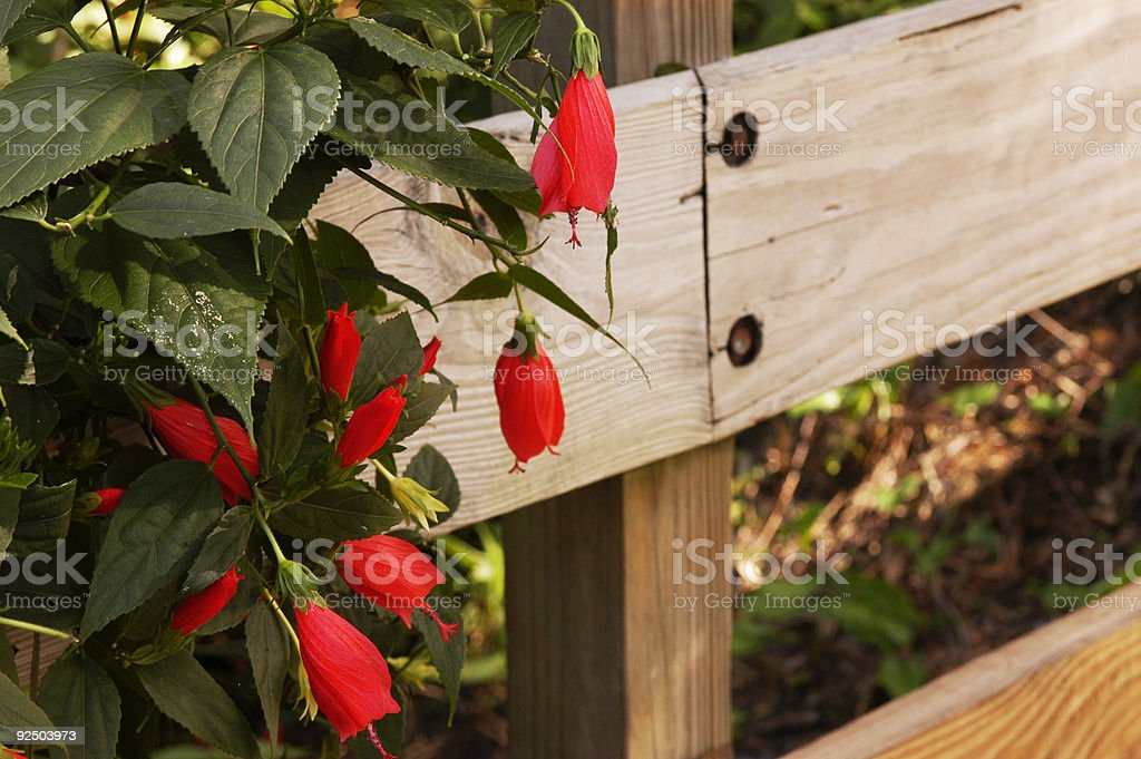Sleeping Hibiscus on a fence royalty-free stock photo