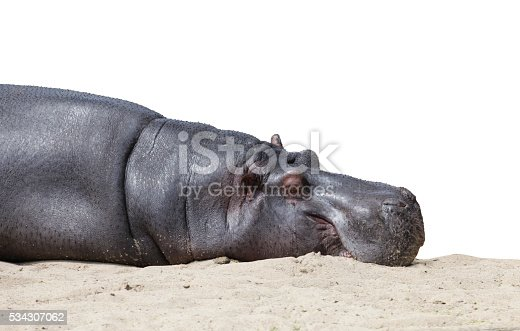 Cropped shot of sleeping hippo isolated on pure white