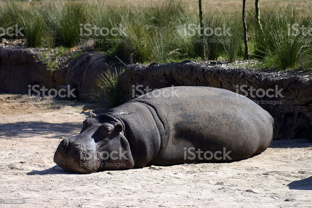 Sleeping Hippo royalty-free stock photo
