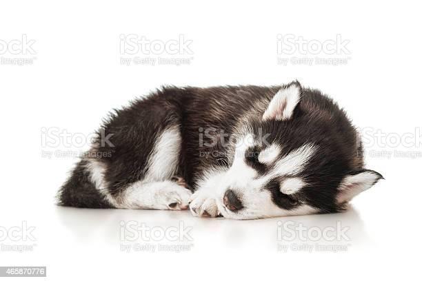 Sleeping husky puppy picture id465870776?b=1&k=6&m=465870776&s=612x612&h=6eixt2jr9nc6258vx4j4 j  k9c8uzrqmtrvjgeewtm=