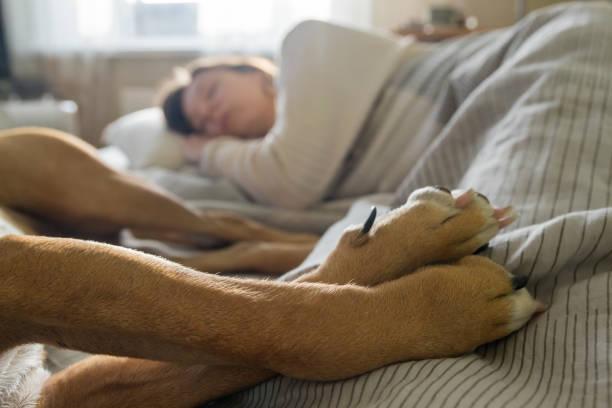dormir en la cama con un perro del animal doméstico. - enfermedades de los pies fotografías e imágenes de stock