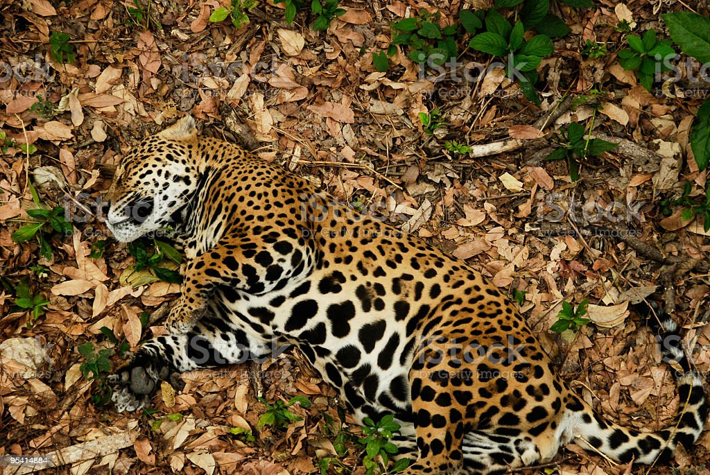 Sleeping jaguar on dry leaves, Mexican rainforest. royalty-free stock photo