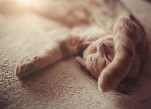 Sleeping Scottish Fold kitty. Shallow DOF