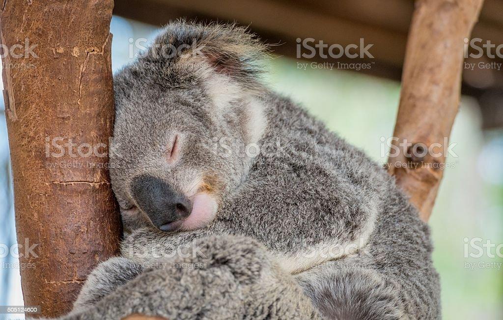 Koalabaer
