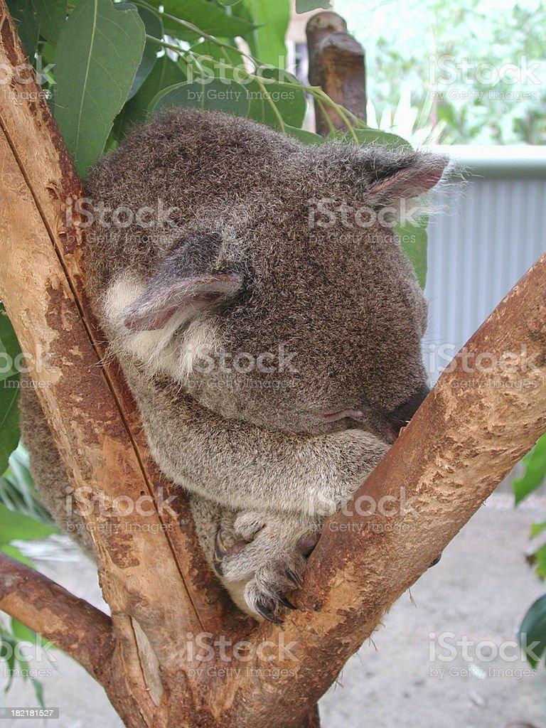Sleeping koala bear royalty-free stock photo