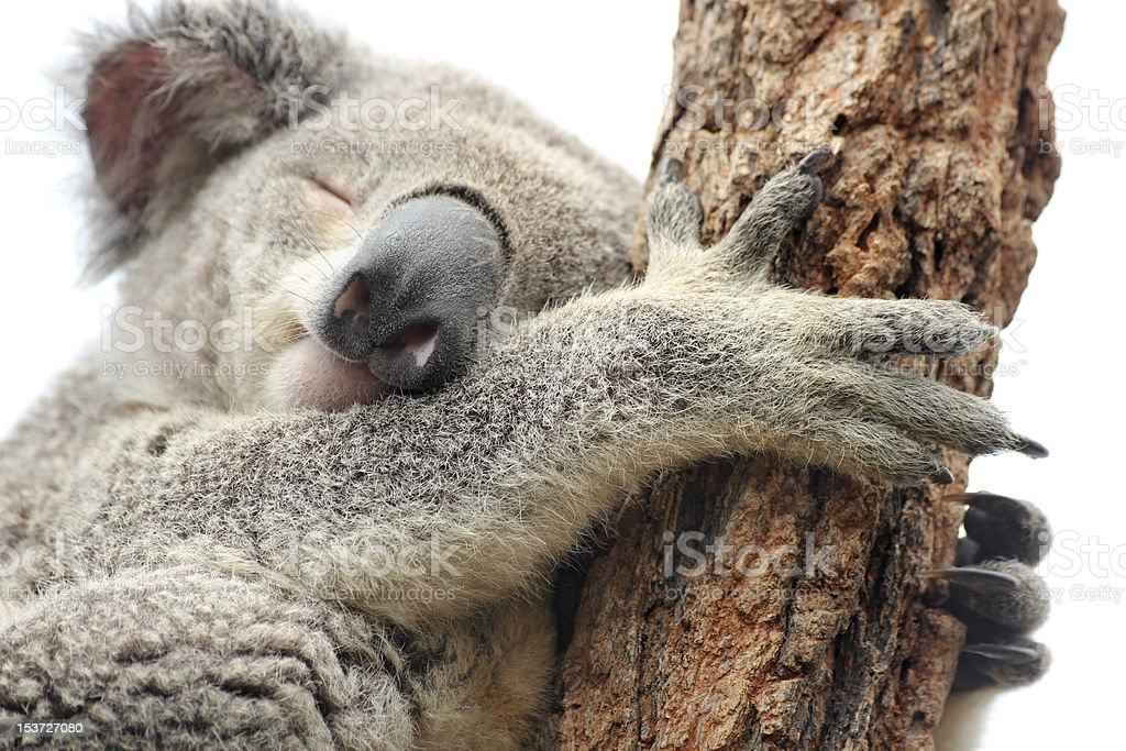 Sleeping Koala isolated on white stock photo