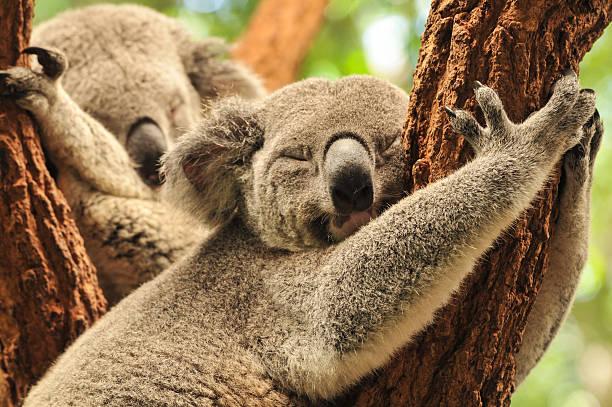 Sleeping koalas stock photo