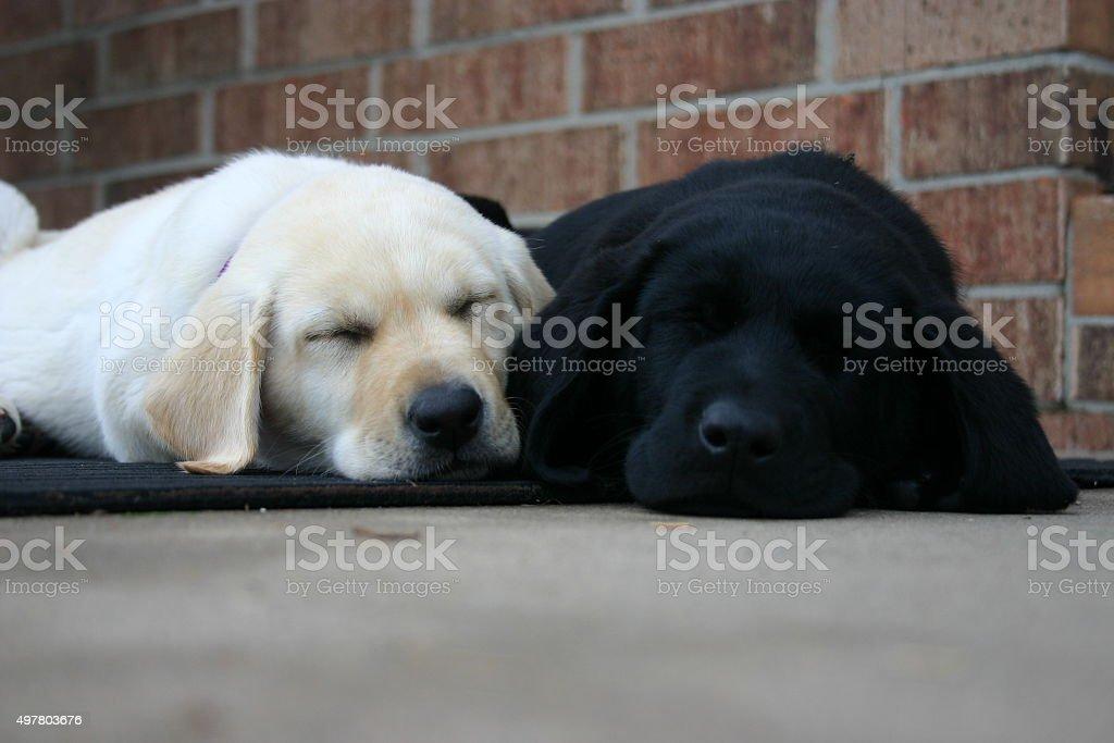 Sleeping Lab Puppies Stock Photo Download Image Now Istock