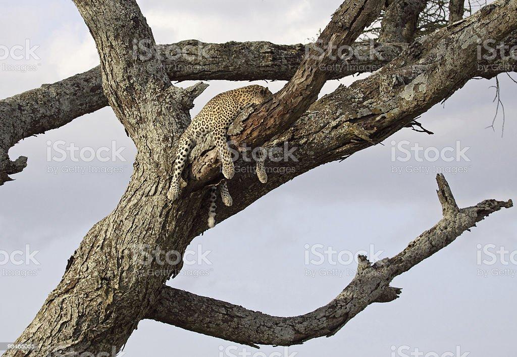 Dormire leopardo foto stock royalty-free