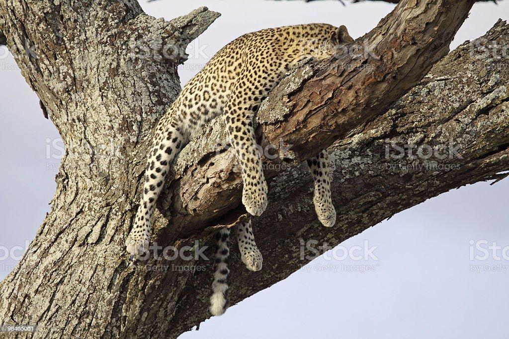 Sleeping Leopard royalty-free stock photo