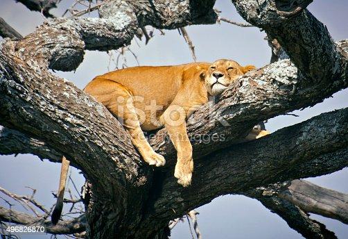 Lion sleeping in a tree - Serengeti