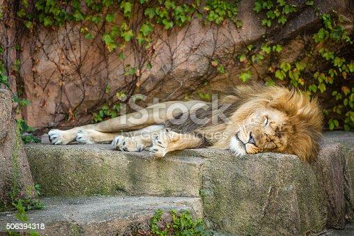 sleeping, king, lion, safarI