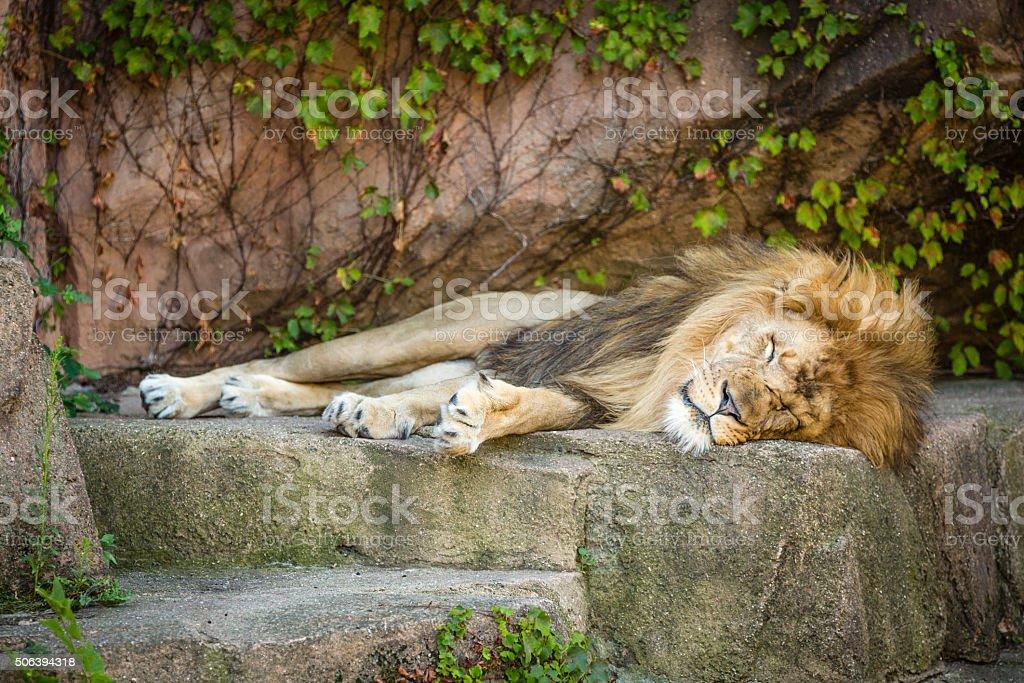 Sleeping lion stock photo
