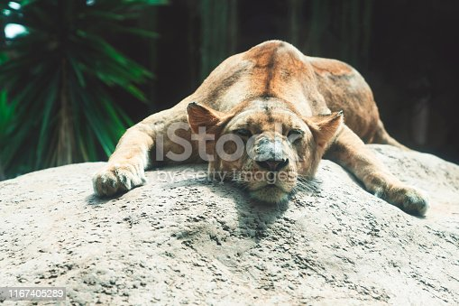 Lion living in natural habitat, napping on a rock.