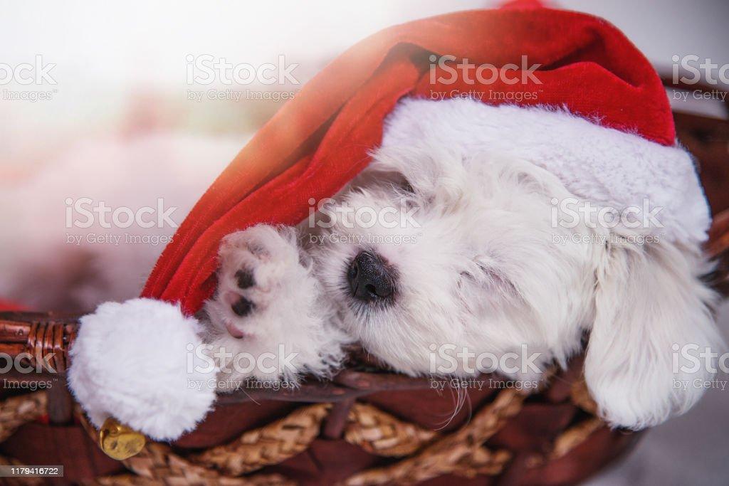 Sleeping Little Puppy Wearing Santa Hat Stock Photo Download Image Now Istock