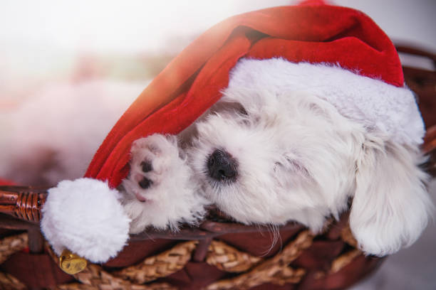 Sleeping little puppy wearing santa hat picture id1179416722?b=1&k=6&m=1179416722&s=612x612&w=0&h=nhfax yijmm 9prar0ph2t3 tgh9ky amolleltlmhc=