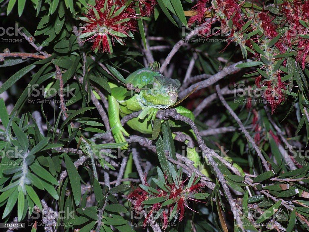 Sleeping lizard stock photo