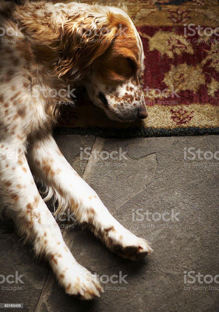 Sleeping Llewelyn setter  royalty free stockfoto