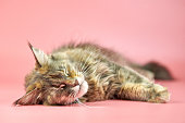 Sleeping Maine Coon tortoiseshell cat. Adult female maine coon purebred cat on pink background. Tortie shorthair cat with funny look.