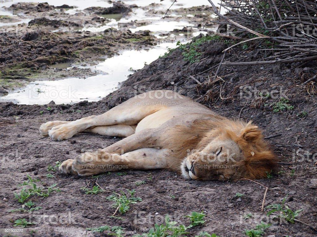 Sleeping Male Lion stock photo