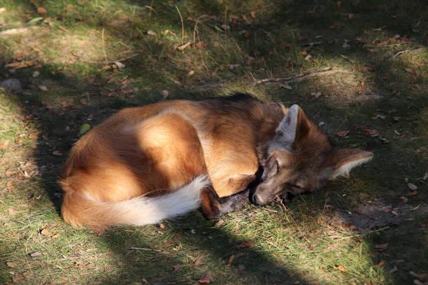 Sleeping Maned Wolf stock photo