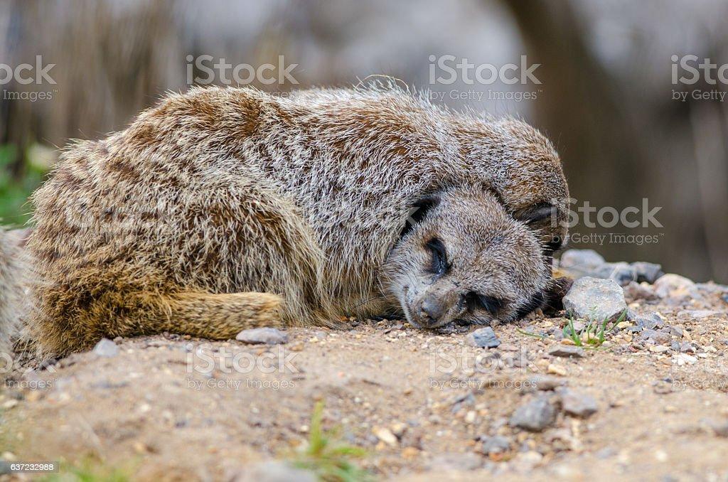 Sleeping Meerkat stock photo